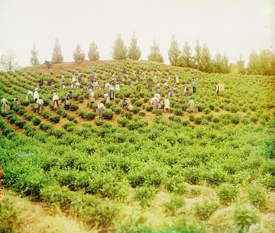 Аджария. Чаква. Сбор чая. (фото Прокудина-Горского)
