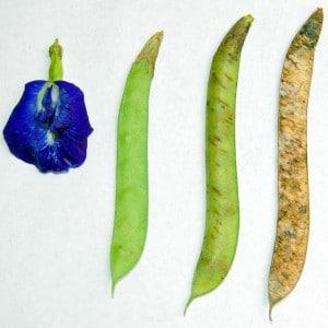 Clitoria_ternatea_beans1